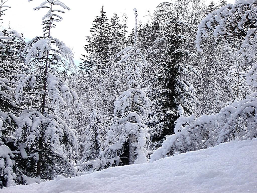 снежность смерекJPG
