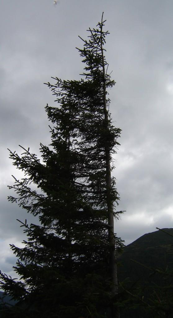 флажковое дерево